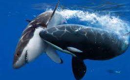 Online Geld verdienen schwertwahl vs Haifisch